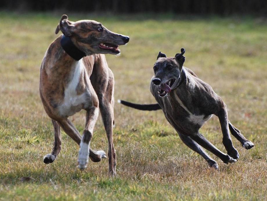 Nuestros perros Galgos y podencos