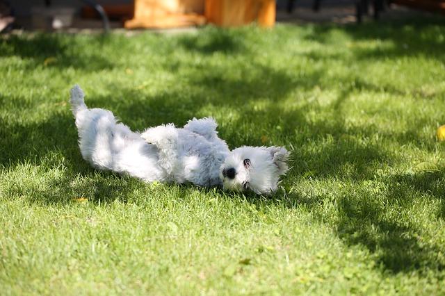 perro se restriega en la hierba acunr