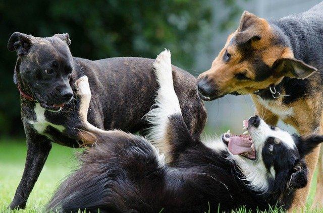 perros acunr
