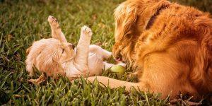 acunr perro se restriega en la hierba
